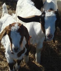 goat kids 5