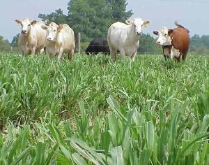 warm season grass PearlMillet