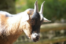 stockvault-goat105727