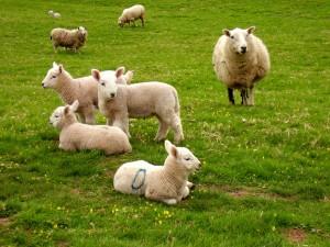 sheep-1315608
