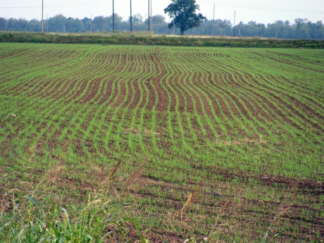winter-wheat-photo